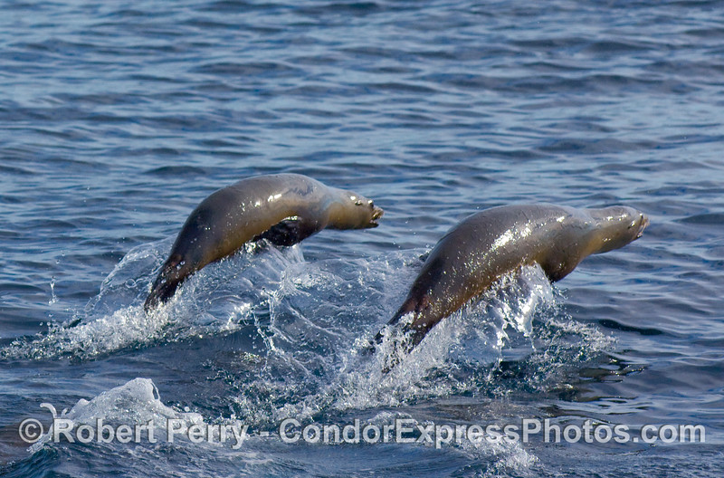 "Two ""porpoising"" California Sea Lions, Zalophus californianus, try to outrun the speedy Condor Express."