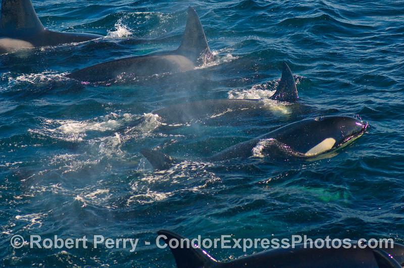 Five Orcinus orca.