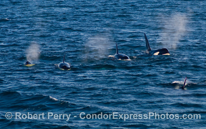 Five Orcinus orca headed this way!