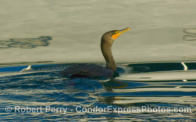 Phalocrocorax penicillatus, Brandt's Cormorant, on patrol in Santa Barbara Harbor at dawn.