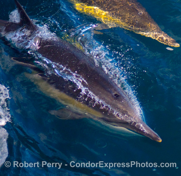A close look at a speeding common dolphin, Delphinus capensis.
