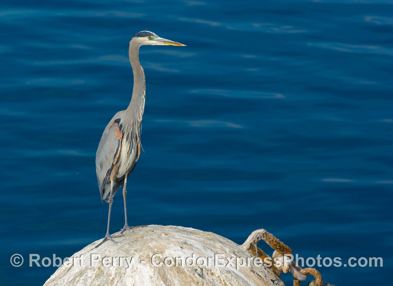 A great blue heron, Ardea herodias, keeps a watchful eye as it stands on the mooring can near the bait barge, Santa Barbara Harbor.