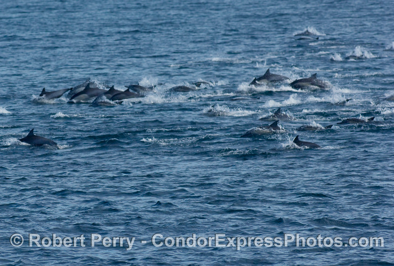 More of the common dolphin, Delphinus capensis, megapod.