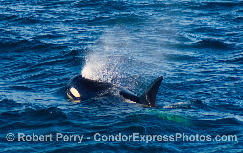 Male Orcinus orca comes up out of the blue for a breath of fresh air.  This pod of killer whales has been identified as a transient pod, some of which have never been photographed south of Monterey, CA.
