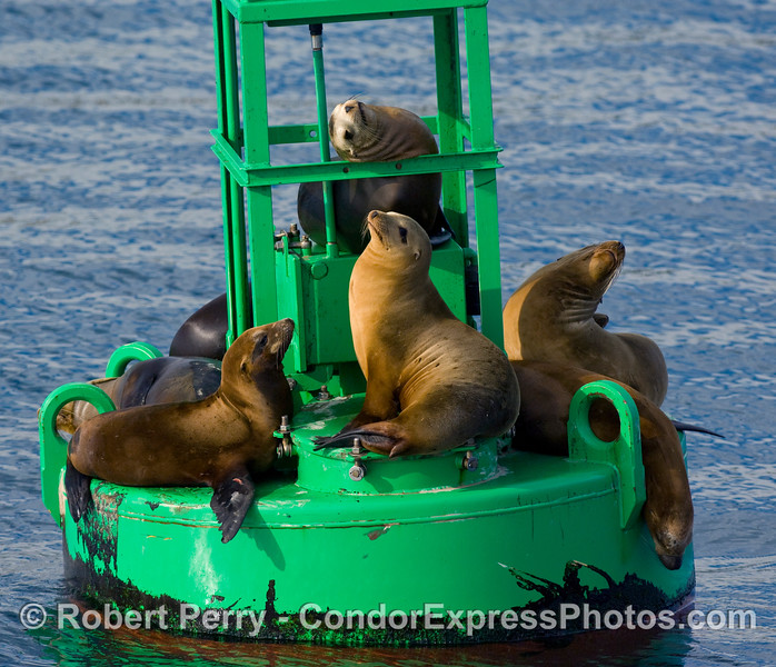 At least eight playful California Sea Lions, Zalophus californianus, relax on the harbor entrance buoy, Santa Barbara.