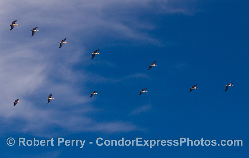 A classic V-formation of brown pelicans, Pelecanus occidentalis, heads towards Santa Cruz Island.