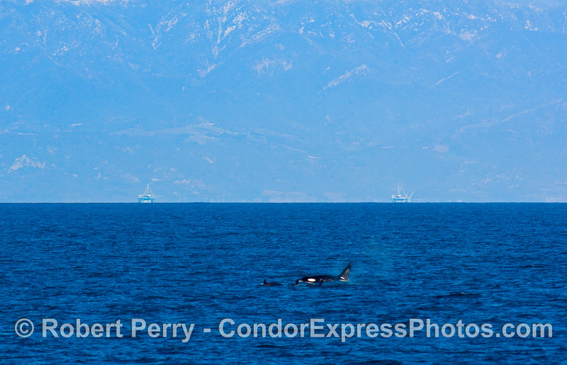 Orcinus orcas in the Santa Barbara Channel with oil platforms in background.