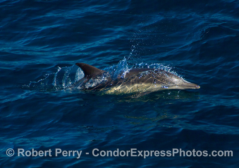 Common dolphins (Delphinus sp) running alonside the vessel Condor Express.