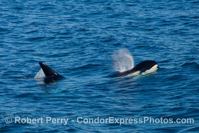 Male Orcinus orca, killer whale, comes up for a breath of fresh air.