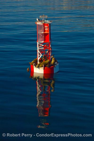 Santa Barbara Harbor entrance buoy with California Sea Lions (Zalophus californianus) on a bright winter's day.