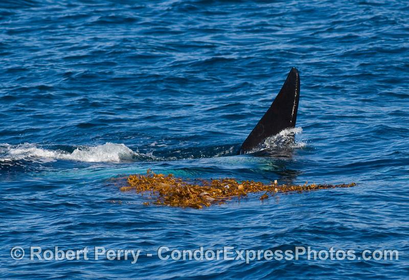 Male Orcinus orca, killer whale, dives near floating kelp paddy (Macrocystis pyrifera).