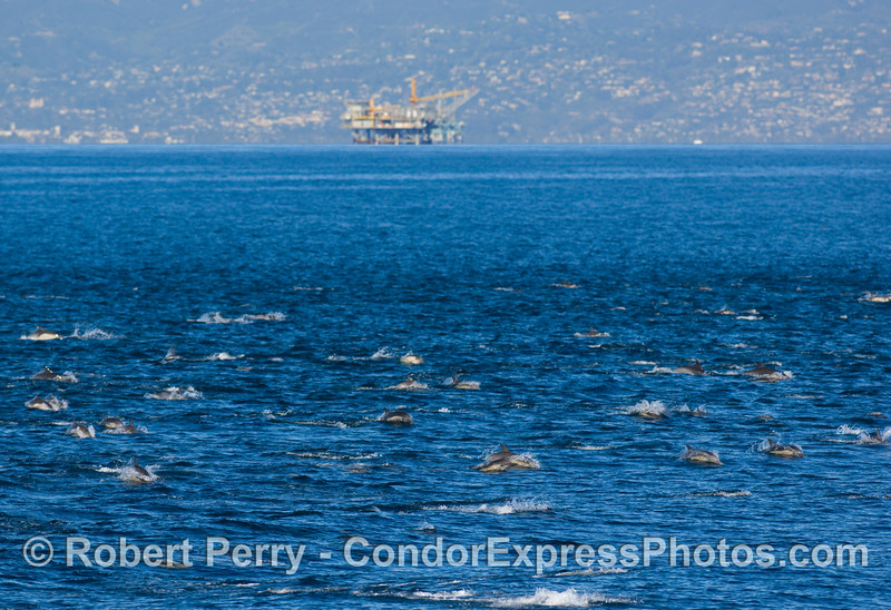 Part of a megapod of Common dolphins (Delphinus sp)with Oil Platform Habitat and the Summerland coast in the background.