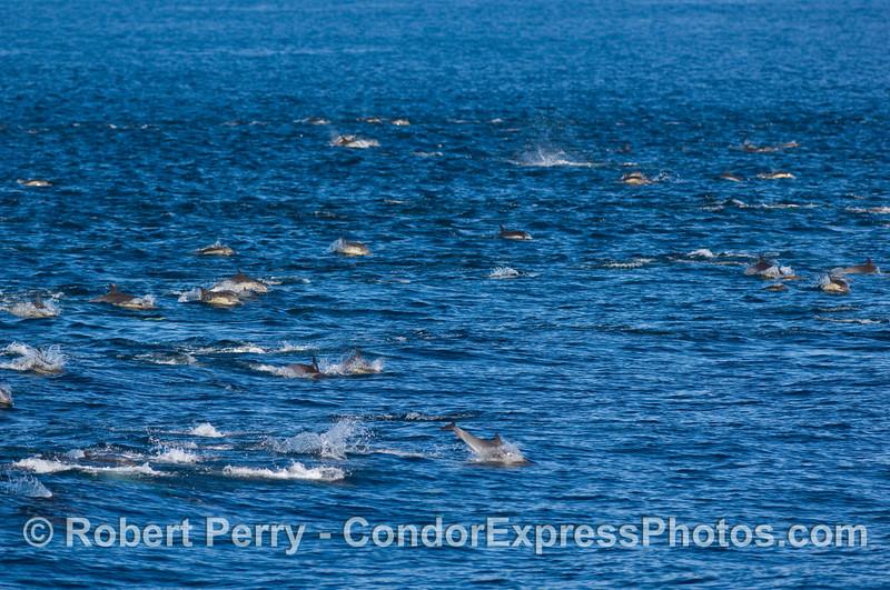 Part of a megapod of Common dolphins (Delphinus sp).