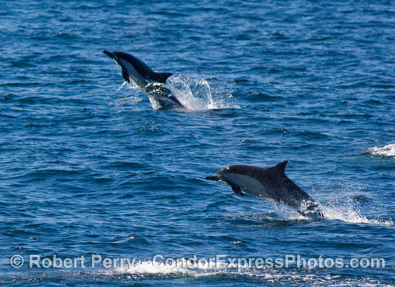 Common dolphins (Delphinus sp) fleeing Orcas.  The entire herd was moving fast and getting airborne.