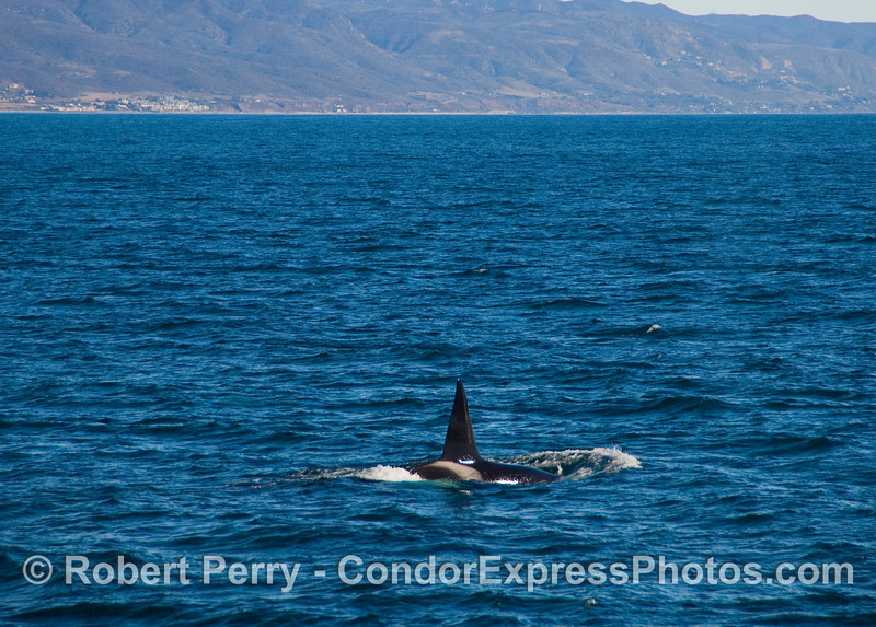 Male Orcinus orca, killer whale, with County Line Beach and condominiums in the background.