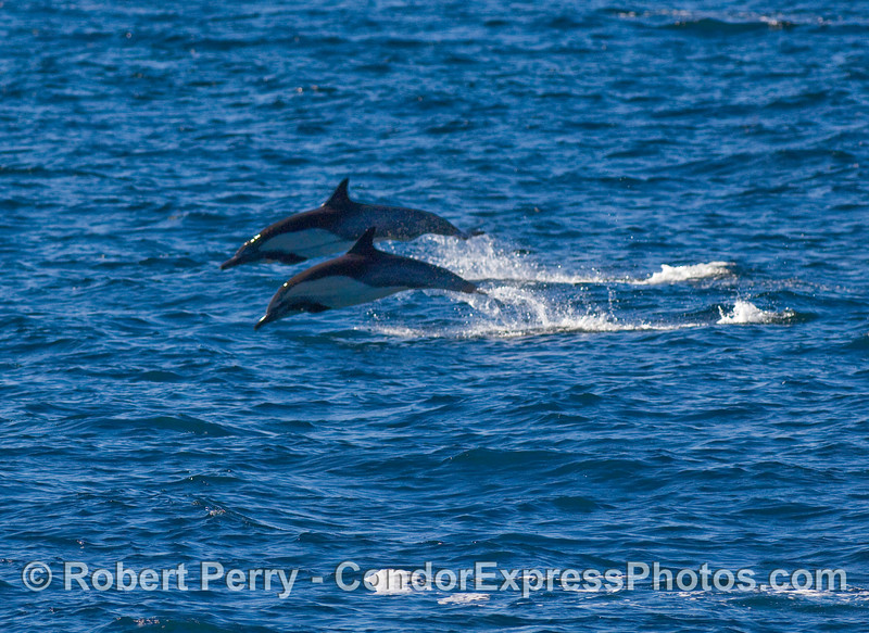Common dolphins (Delphinus sp) fleeing Orcas.  The entire herd was moving fast and getting airborne.  Image 2 of 2.