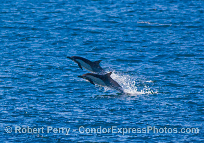Common dolphins (Delphinus sp) fleeing Orcas.  The entire herd was moving fast and getting airborne.  Image 1 of 2.