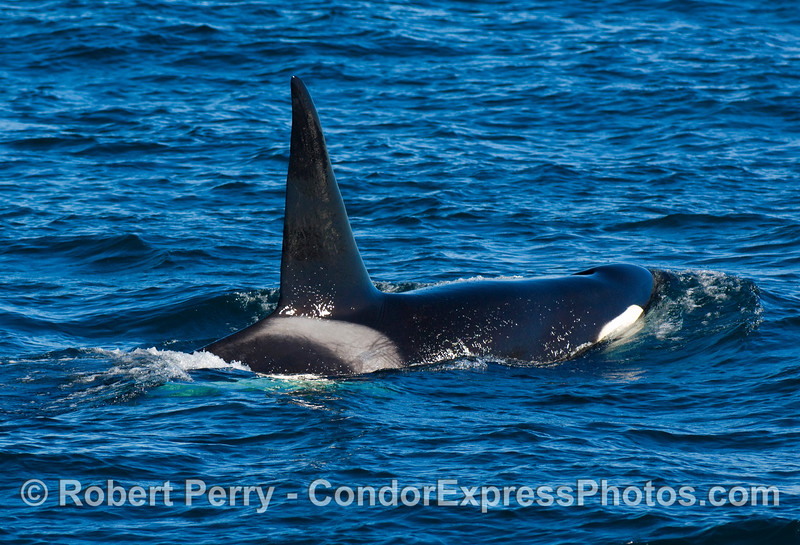 Male Orcinus orca, killer whale.