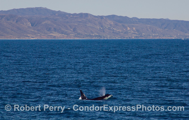 Male Orcinus orca, killer whale, with coastline near the Ventura County - LA County line.