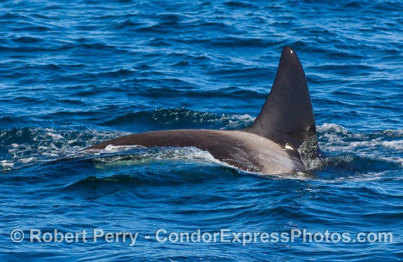 Female Orcinus orca, killer whale.