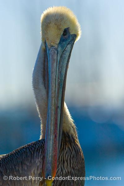 Brown Pelican, Pelecanus occidentalis, perched on the upper deck of the dive boat Truth, in Santa Barbara Harbor.