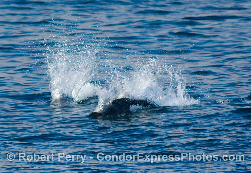 Two rooster tails; Dall's Porpoise (Phocoenoides dalli).