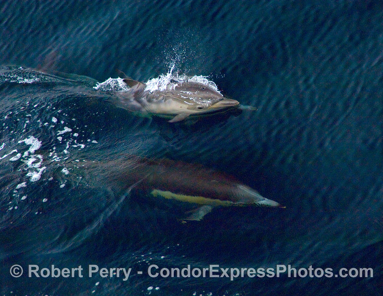 Common Dolphin (Delphinus sp) calf on surface breathing, and mother just below the surface.