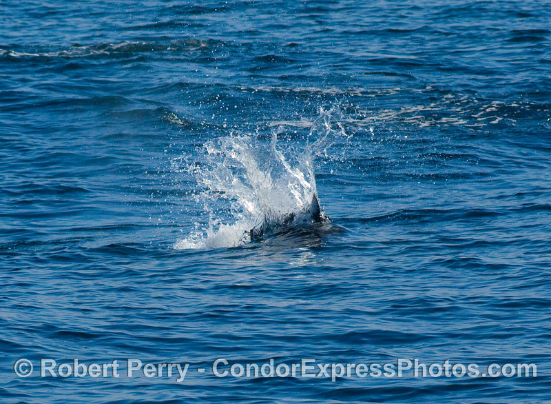 Big rooster tail; Dall's Porpoise (Phocoenoides dalli) .