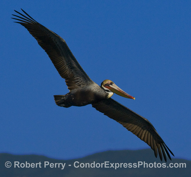 Close view of a brown pelican in flight (Pelecanus occidentalis).