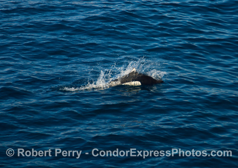 Dall's Porpoise (Phocoenoides dalli) moving at top speed.