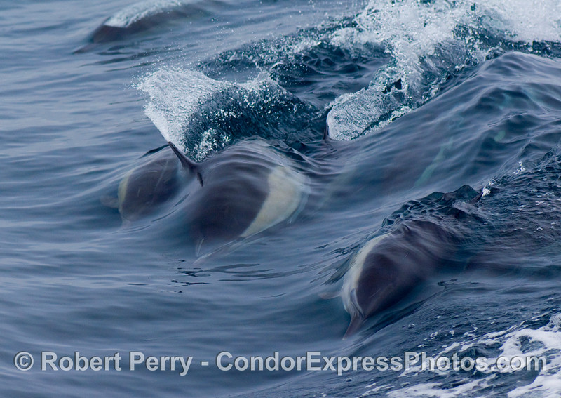 Common Dolphin (Delphinus sp) riding the wake waves, having fun.
