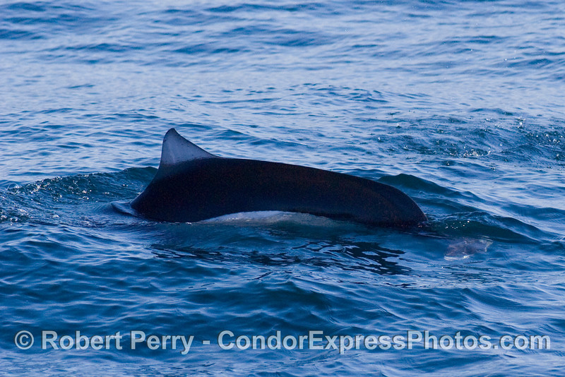 Dall's Porpoise (Phocoenoides dalli) close look; this animal is moving from right to left.