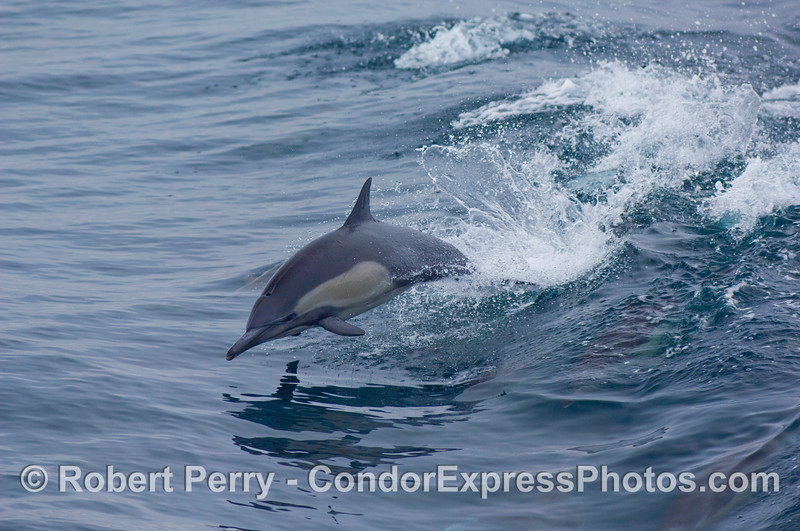 Common Dolphin (Delphinus sp) wake jumping.