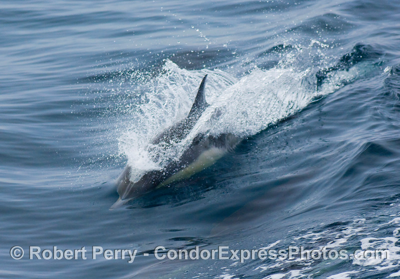 Common Dolphin (Delphinus sp) riding the wake waves, having fun.