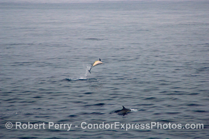 Common Dolphin (Delphinus sp) leaping on a big, calm ocean; image 2 of 2.