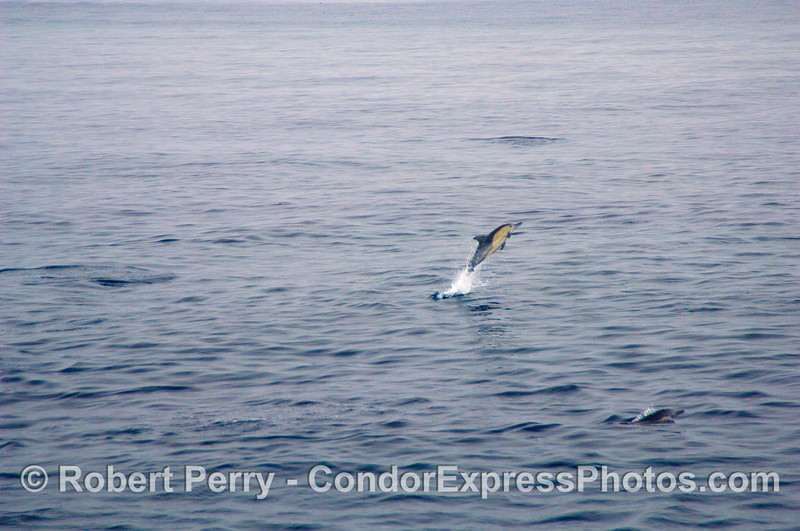 Common Dolphin (Delphinus sp) leaping on a big calm ocean; image 1 of 2.