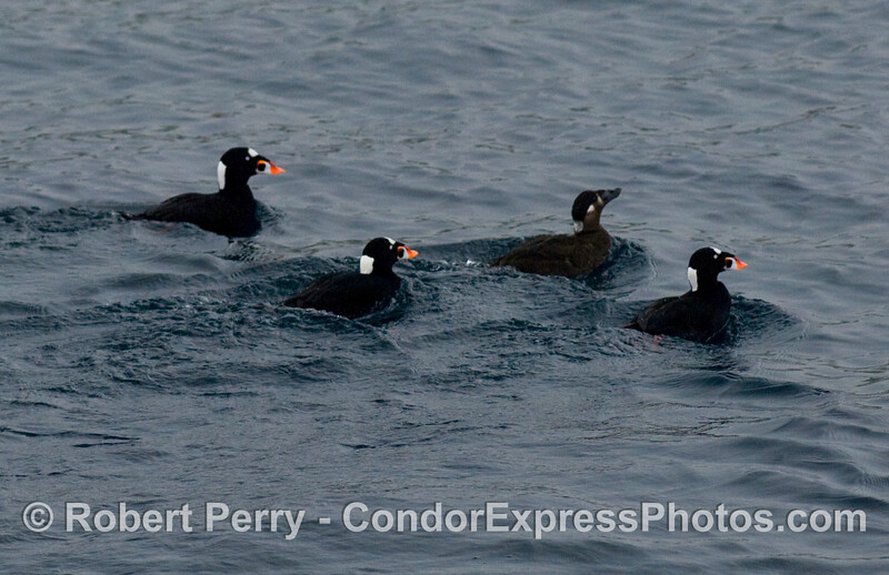 3 males and 1 female Surf Scoter (Melanitta perspicillata).