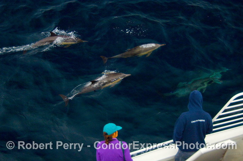 Passengers on the Condor Express enjoy a close encounter with very friendly Common Dolphin (Delphinus sp).