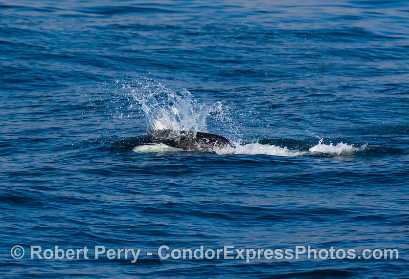 Dall's Porpoise (Phocoenoides dalli)...more rooster tails.