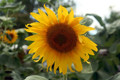 Sunflower at the Colonial Williamsburg garden