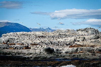 Black and White Cormorants