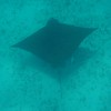 a spotted ray we spotted (see what I did there?) at the Sandy Cay reef