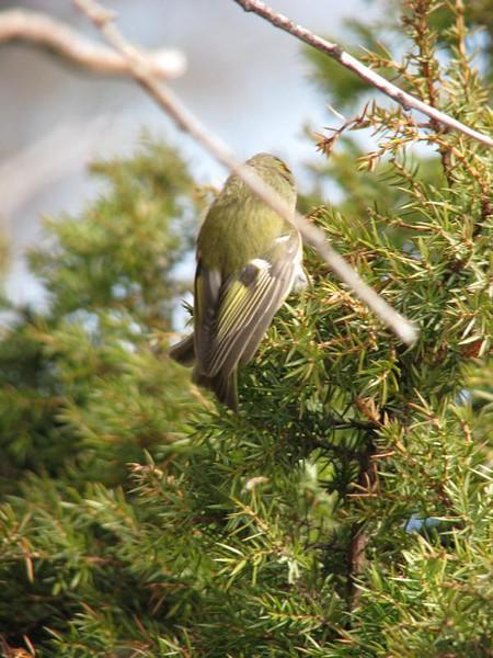 Kungsfågel på Långkobb,  Europas minsta fågel