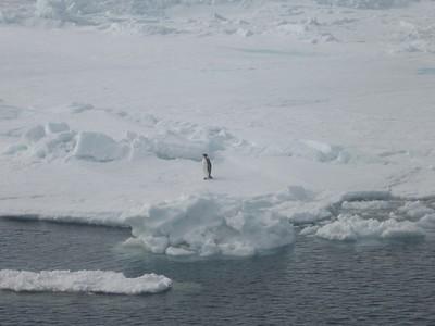 Emperor penguin - Andrew Gossen