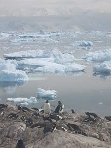 Penguins, Meko harbor - Andrew Gossen
