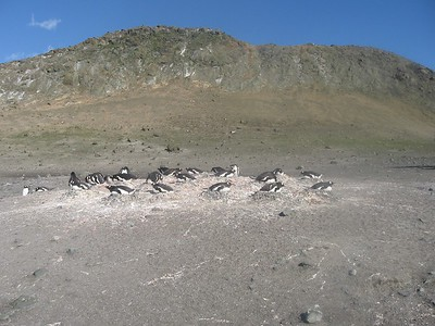 Nesting penguins on Aitcho - Andrew Gossen