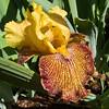 04-07-08 Yellow Iris