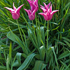 04-07-08 Pink Tulips