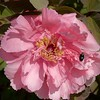 04-04-08 Backyard Peony and Bee