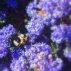 04-07-08 Ceanothus & Bee
